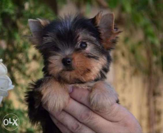 Best imported mini Yorkshire puppies with Pedigree, Passport and micro