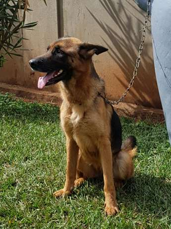 Pure GSD on sale Lower Kabete - image 2