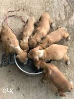 pit bulls puppies for sale