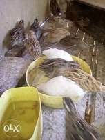 Mature quails about to lay