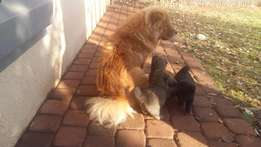 puppies for sale cross chow chow and border collie