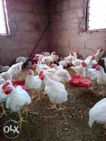 fully grown broilers