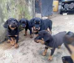 get your available rott