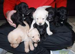 Beautiful Labrador puppies for sale, 5 black 3 white, 4 male 4 female