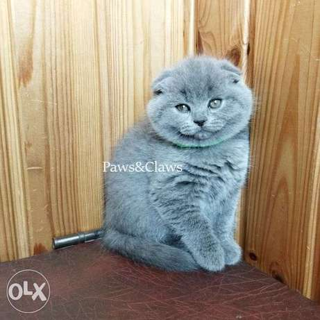 Scottish Fold blue cats with a wide muzzle