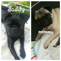 Pug puppies for sale! !