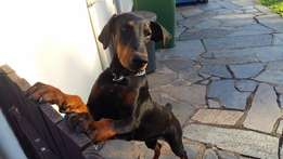 Pedigree Doberman Pinscher To New Forever Home