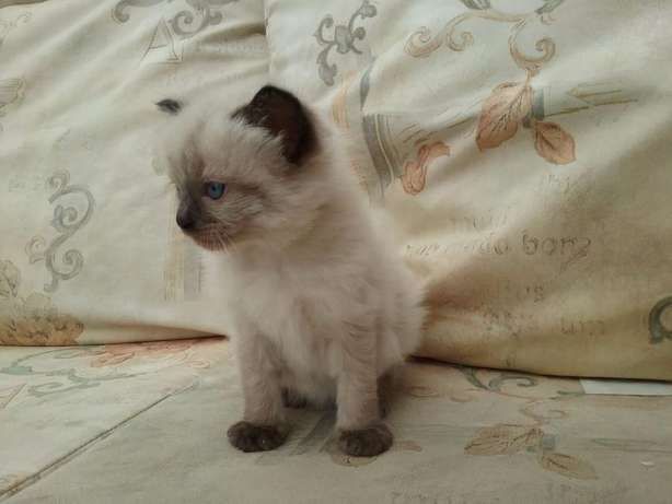 Ragdoll kittens for sale Carletonville - image 2