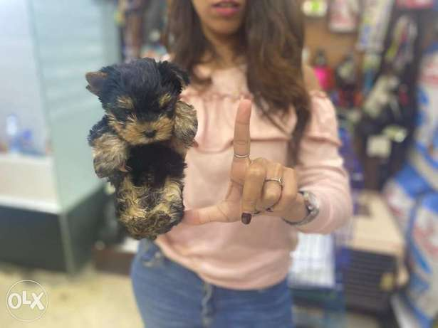 Now In Egypt Dogs Store Mini Yorkshire From Ukraine
