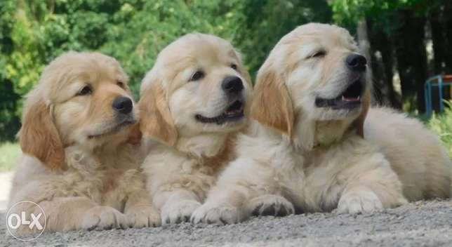 Golden Retriever Puppies Imported with all Documents