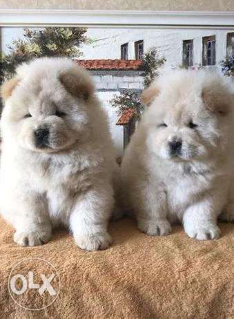 Imported Chow Chow available Now From Europe