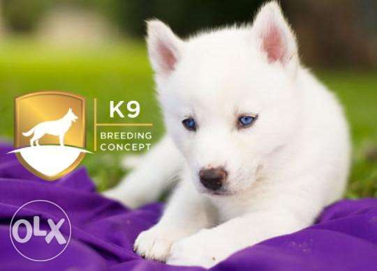 The Siberian husky (free delivery)