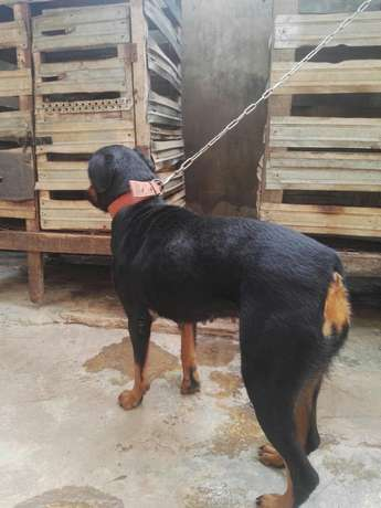 Female adults Rottweiler Ibadan Central - image 6