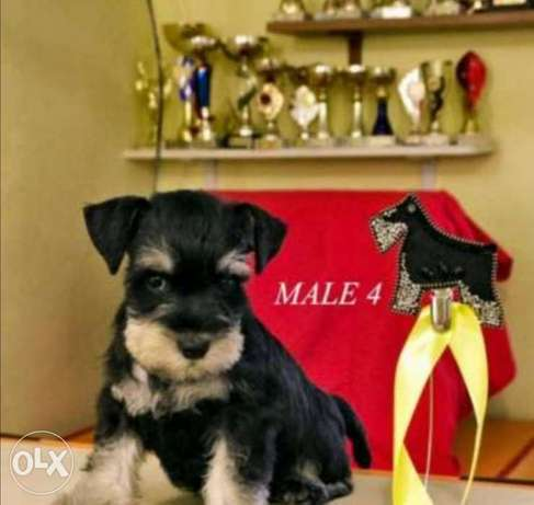 Schnauzer puppies, imported with all documents