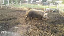Male pigs
