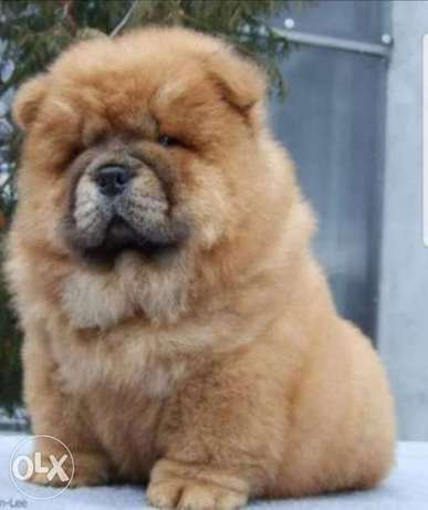 Reserve ur top quality chowchow puppy, imported with all dcs