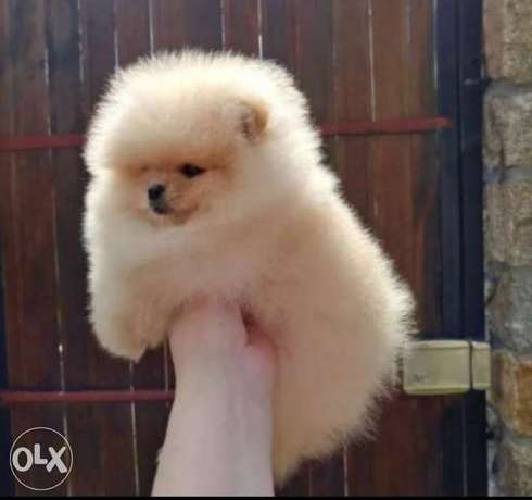 Teacup pomeranian puppies, imported with Pedigree.. Top quality
