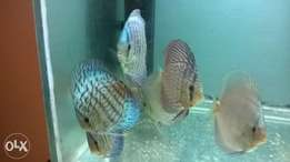 5 discus for sale