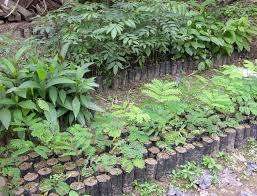 Tree seedlings for cypress, bluegum, Mukima and any other tree