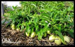 PEPINO seedlings for large & small scale farmers. Delivery