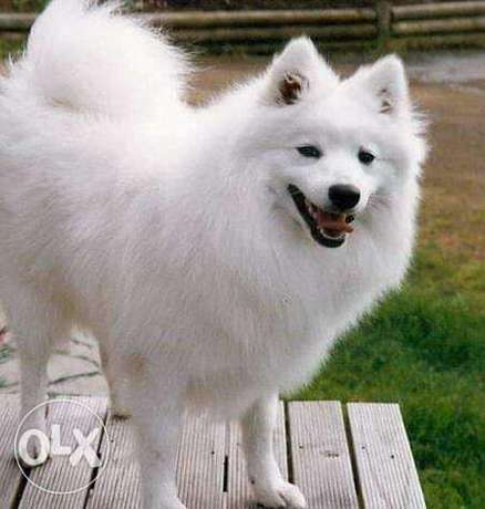 Spitz puppies for sale