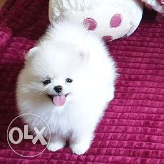 An incredibly beautiful Pomeranian - for you and your loved ones!