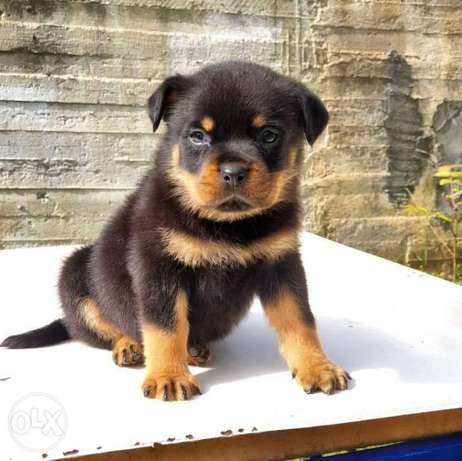 Male Rottweiler puppy for sale