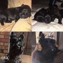 Opregte Scottish Terrier