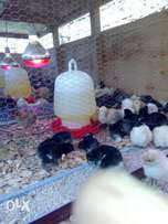 1day old Improved Kienyeji (Kuroiler/Rainbow) chicks for sale