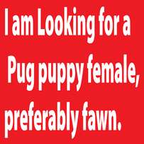 Wanted female Pug puppy