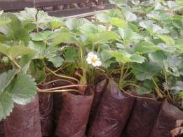 Hybrid chandler strawberries seedlings