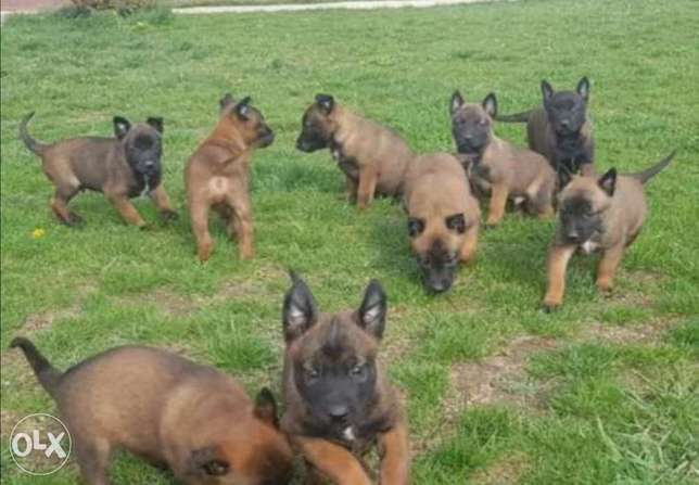 Malinois puppies, imported with all documents