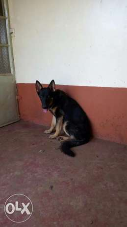 5 1/2 months old gsd sable female vaccinated and dewormed Akiba - image 2