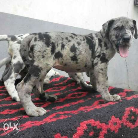 Female greatdane available Ikorodu - image 2