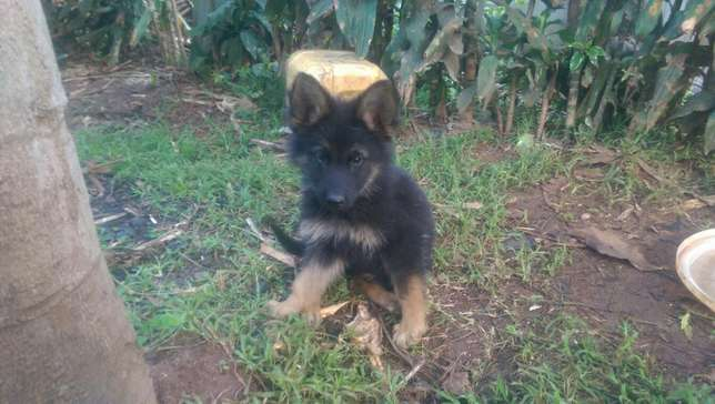 German shephard puppies for sale Roysambu - image 6