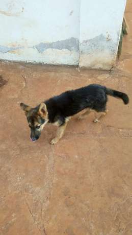 10000 ksh German Shepherd puppy Nyari - image 4