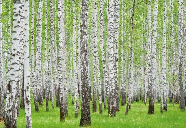 Znalezione obrazy dla zapytania Tapety na pulpit o lesie brzozy jarzębiny dęby