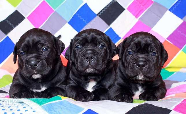 Imported Cane Corso Puppies Full Documents Top Quality From Ukraine
