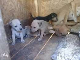 Crossbreed dogs for sale