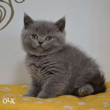 Diana, a Scottish straight-eared beauty with a thick branded plush,