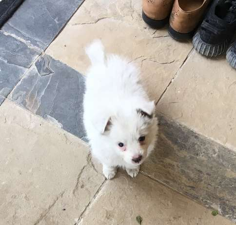 Japanese Spitz Puppies for sale at 10k Nairobi CBD - image 3