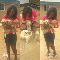 11 Months and 4 months Lhasa apso Dog for sale