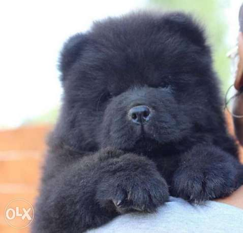 Imported black chowchow with Pedigree