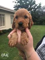 Baby Spaniels for sale