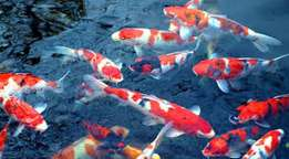 Koi Fish With Tank for Sale