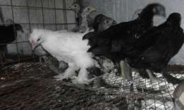 Bantam chicks for sale 2months old