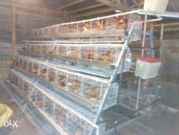 Layers cage for 500 chicken.