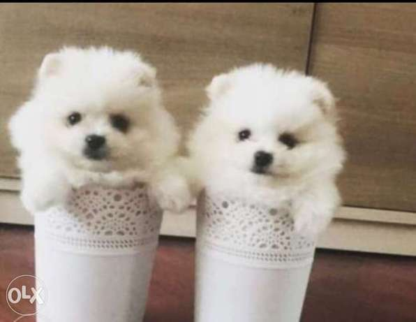 Best imported teacup pomeranian puppies, max weight 2 kgs