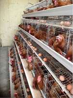 Quality Imported Chicken Cages for Layers(256 birds)