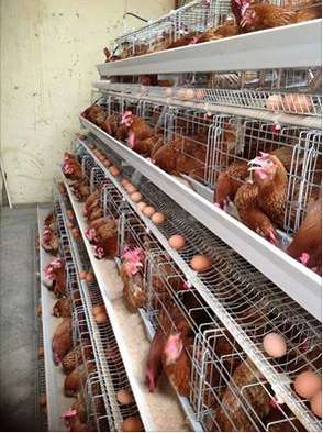 Quality Imported Chicken Cages for Layers(256 birds) Kasarani - image 1